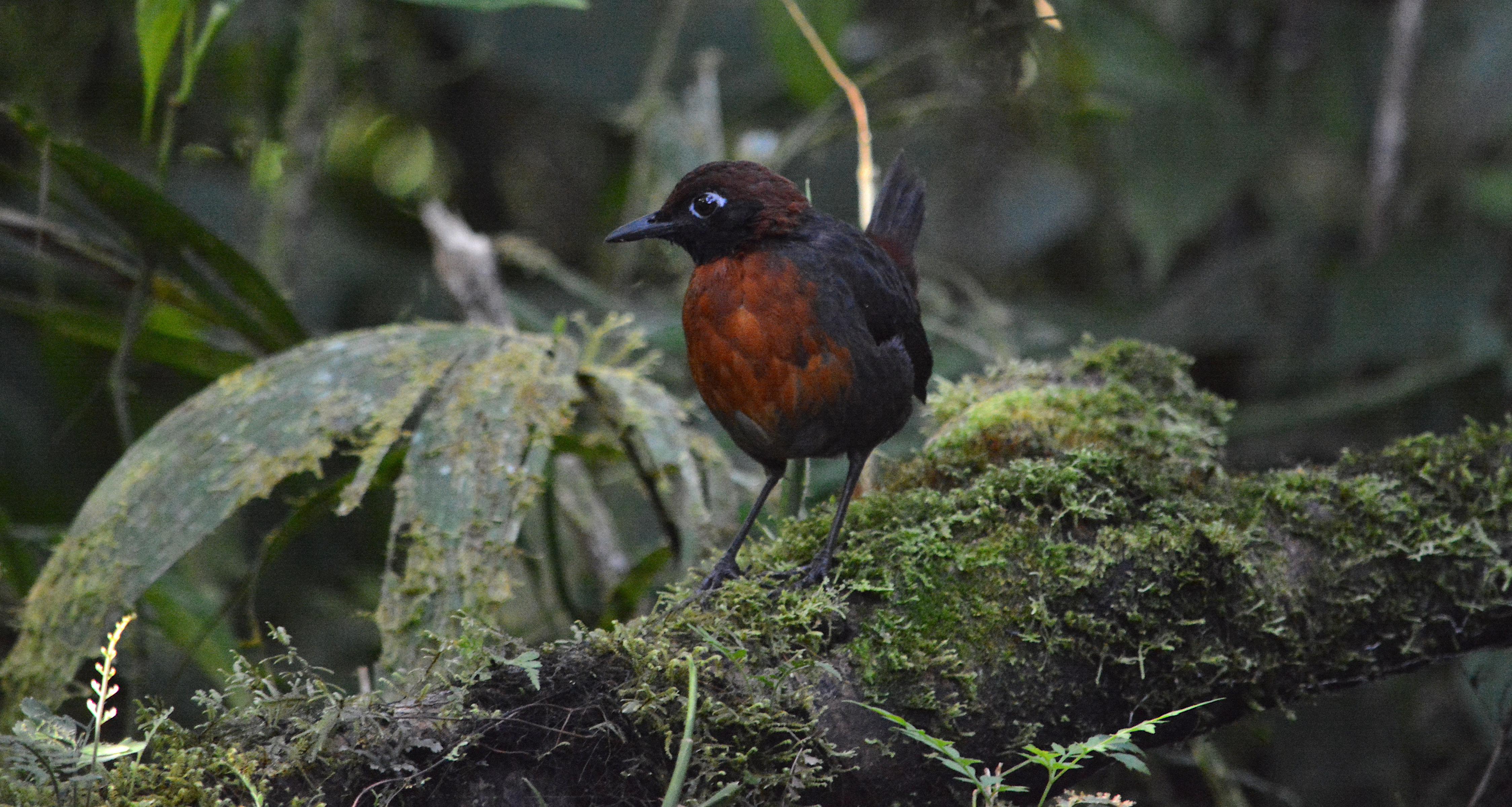 Formicarius rufipectus, Mindo, Ecuador